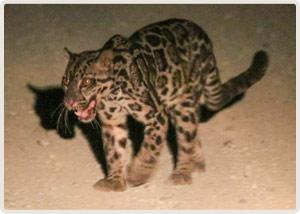 150517_leopard_main