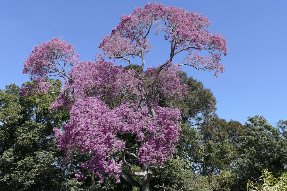 flowering-brazilian-ipe-tree